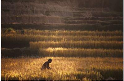 Agriculteur, au début de la moisson, près de Katmandou (Népal), le 30 octobre. Niranjan Shrestha / AP
