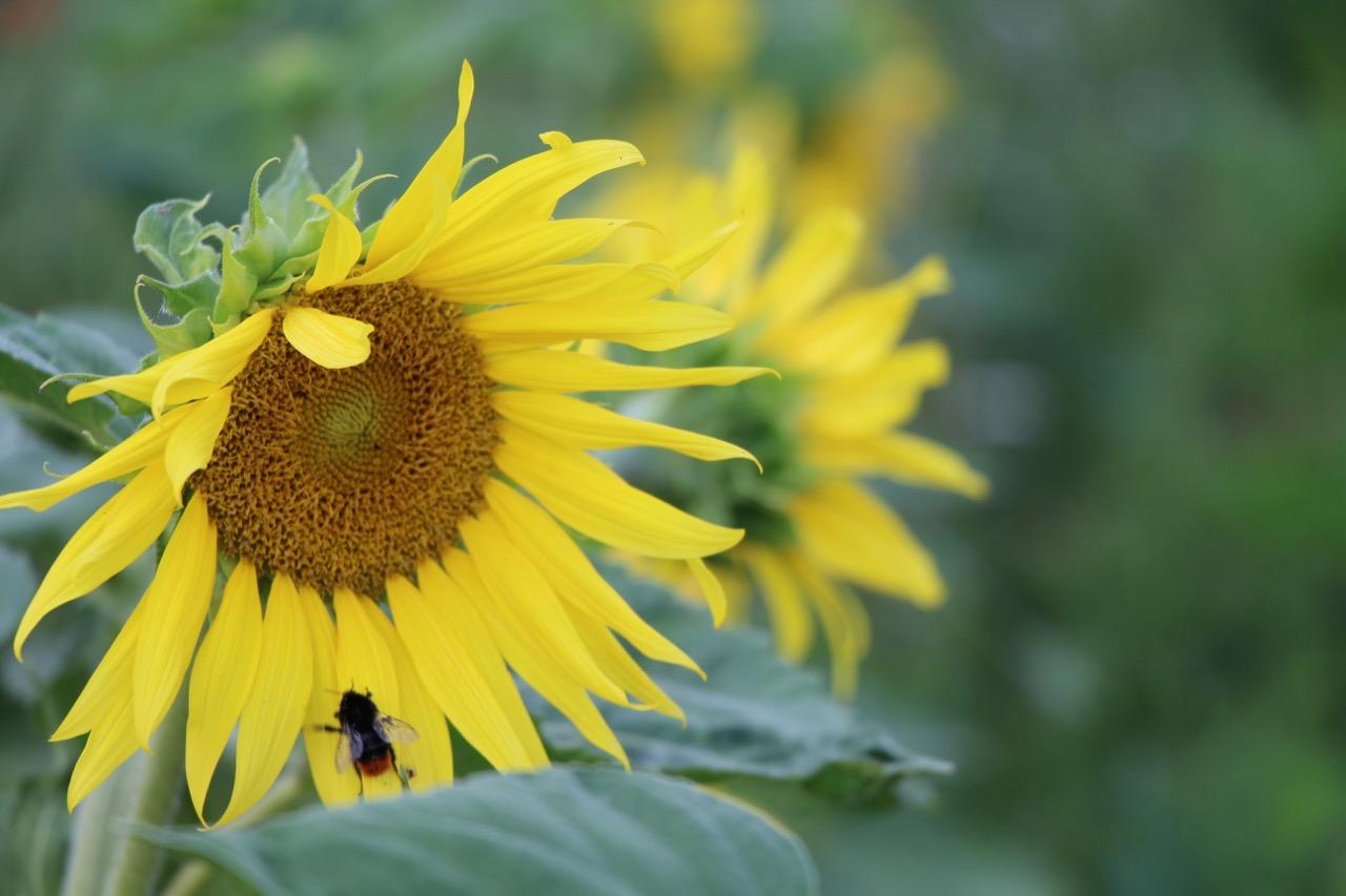 tournesol-et-abeille